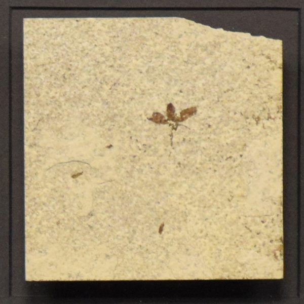 Fossil Shadow Box 171004603