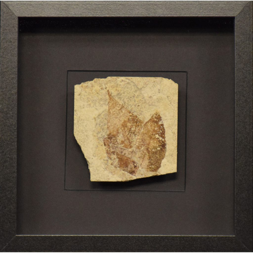 Fossil Shadow Box 171004608