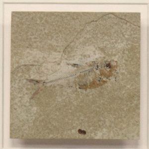 Fossil Shadow Box 171004618