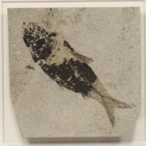 Fossil Shadow Box 171004620