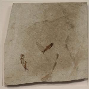 Fossil Shadow Box 171004626