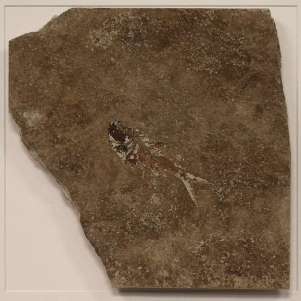 Fossil Shadow Box 171004628