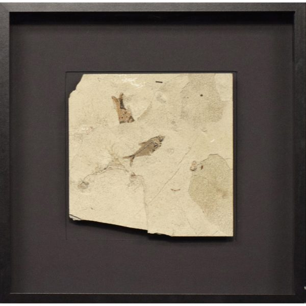 Fossil Shadow Box 171004631