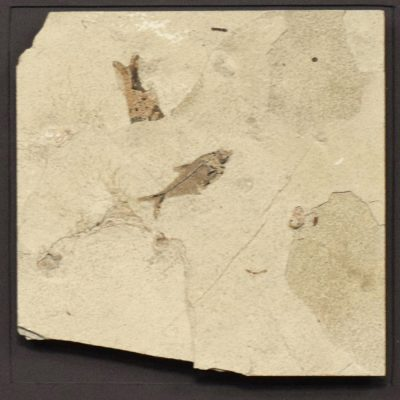 Fossil Shadow Box 171004631