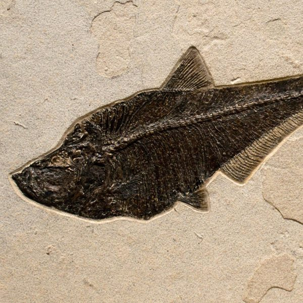Fossil Tile (Natural) CP1624_N049