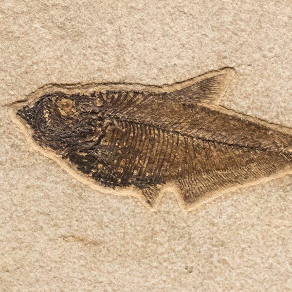 Fossil Tile (Natural) DL48_N203