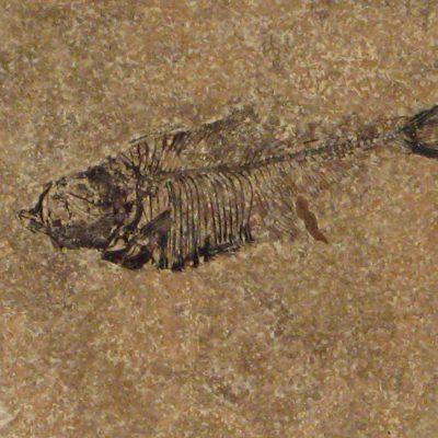 Fossil Tile (Honed) DL66_H027
