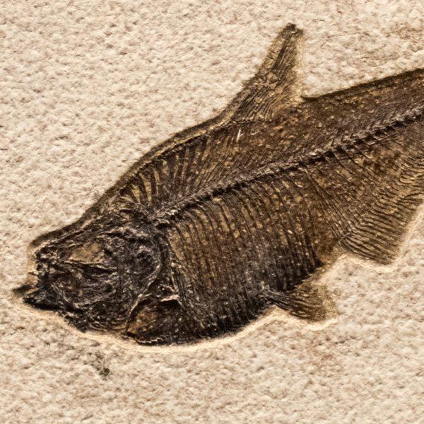 Fossil Tile (Natural) DL66_N161