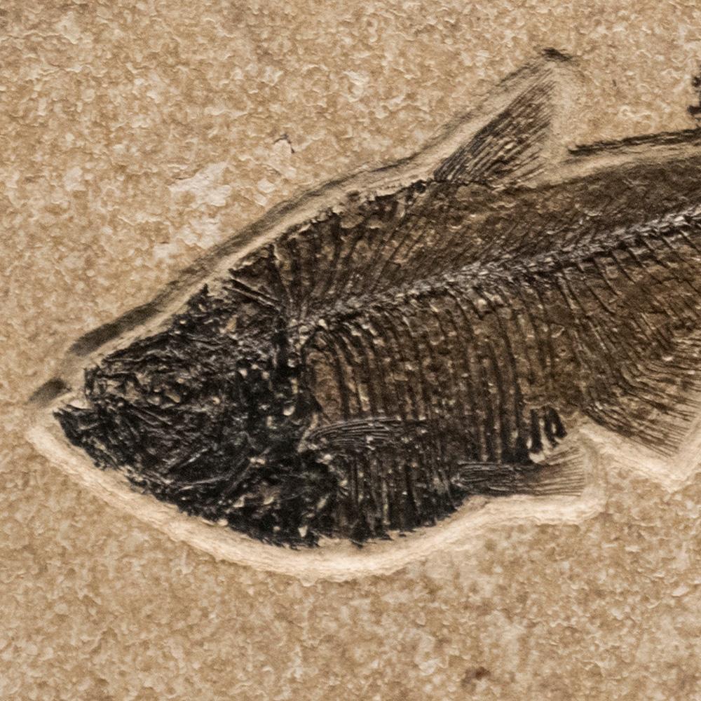 Fossil Tile (Combination) DL66_S220