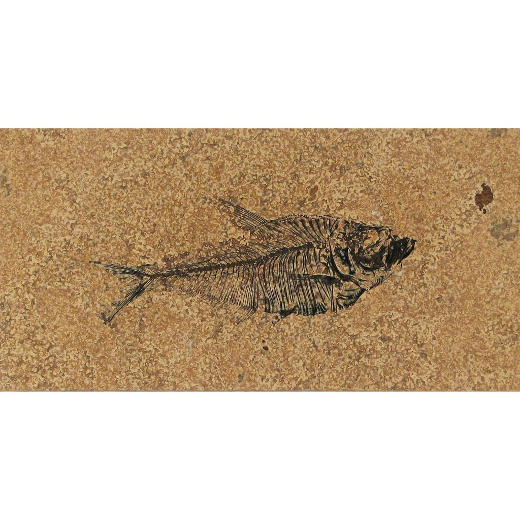 Fossil Tile (Honed) DR48_H101