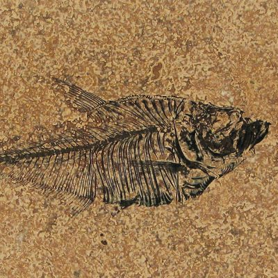 Fossil Tile (Honed) DR48_H101