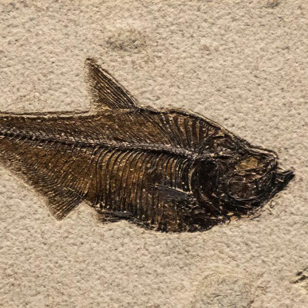 Fossil Tile (Natural) DR48_N216