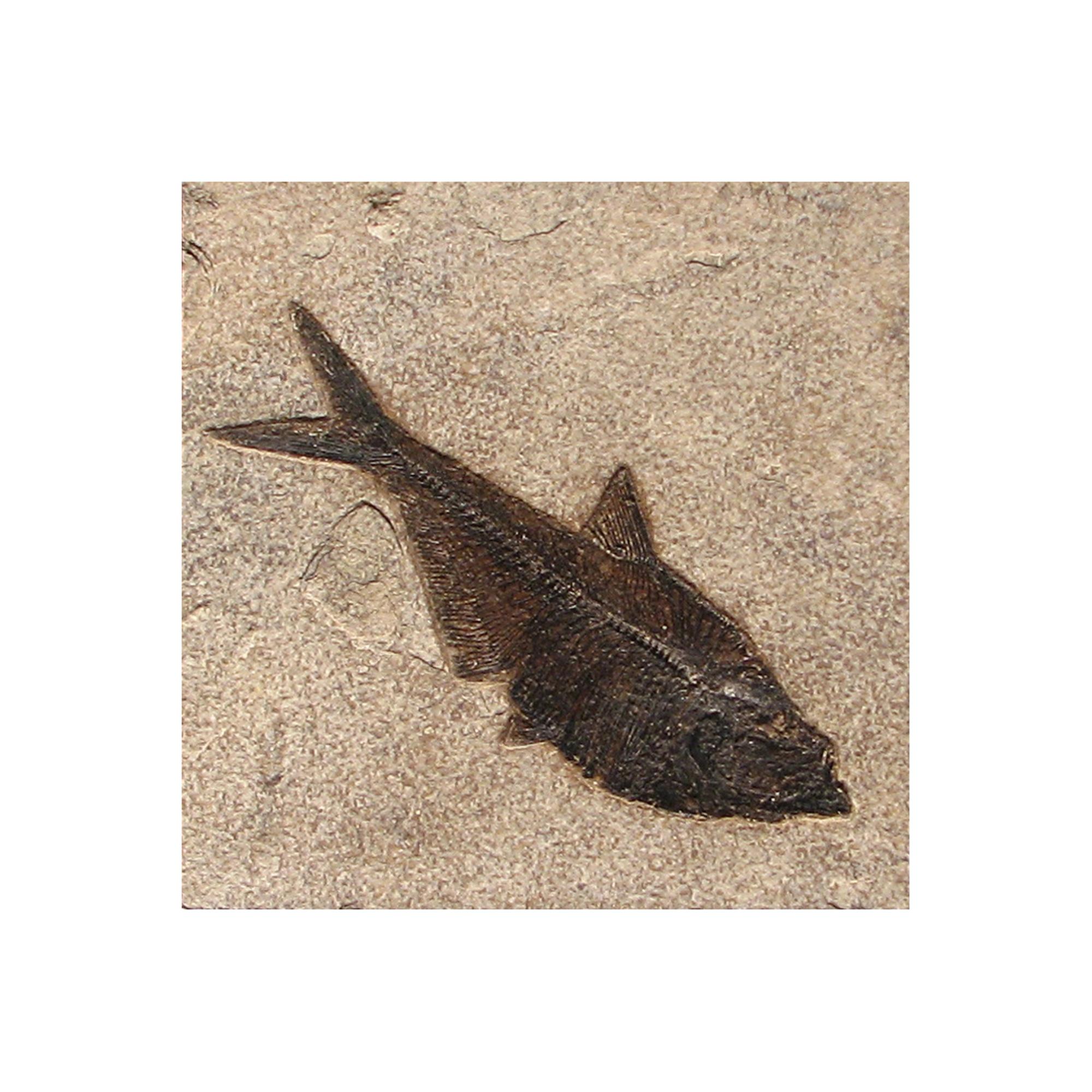 Fossil Tile Natural Dr66 N150