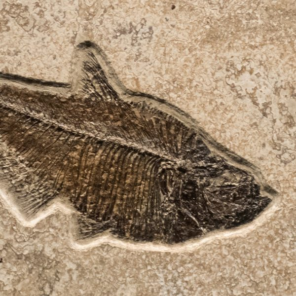 Fossil Tile (Combination) DR66_S221