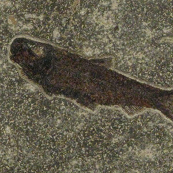 Fossil Tile (Combination) KL66_S019