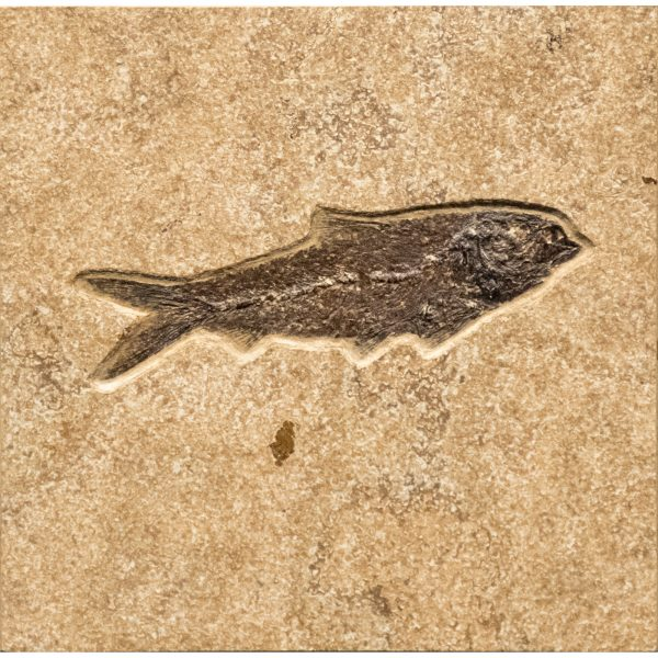 Fossil Tile (Combination) KR66_S229