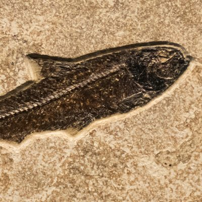 Fossil Tile (Combination) KR88_S235