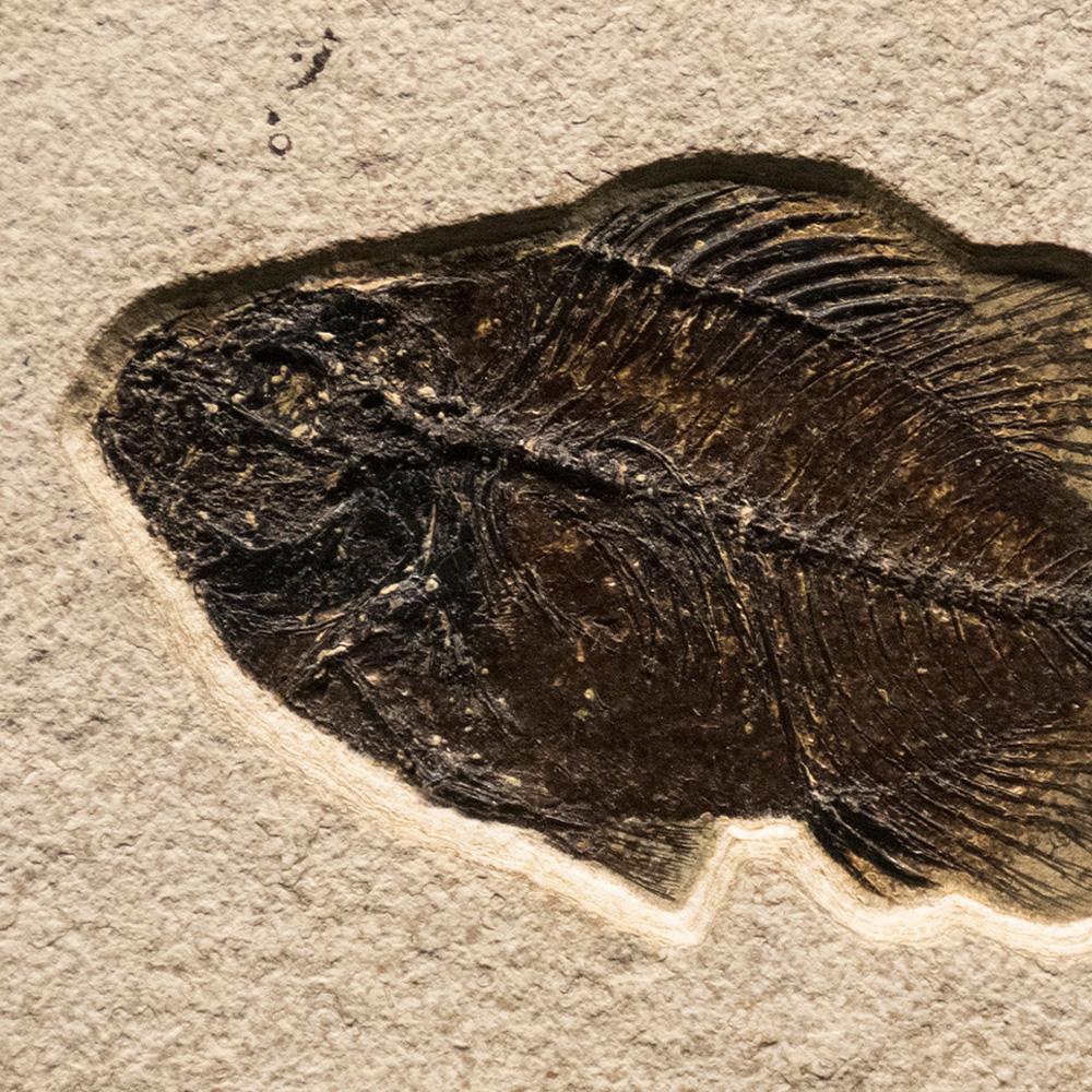 Fossil Tile (Natural) PL48_N218