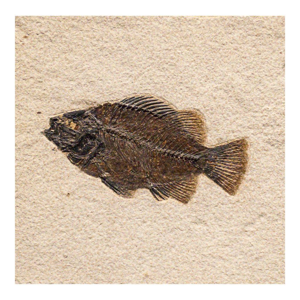Fossil Tile (Natural) PL66_N156