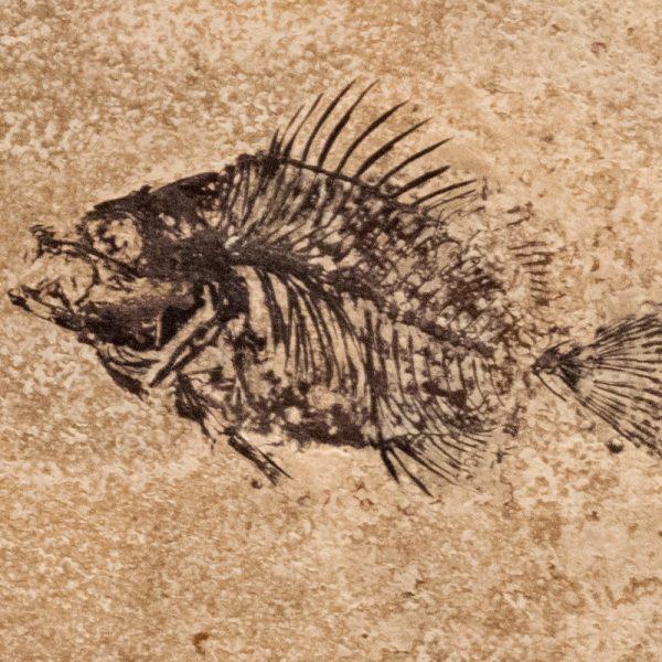 Fossil Tile (Honed) PL88_H111