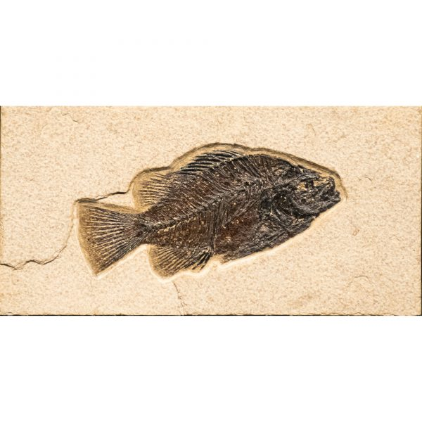 Fossil Tile (Natural) PR48_N237