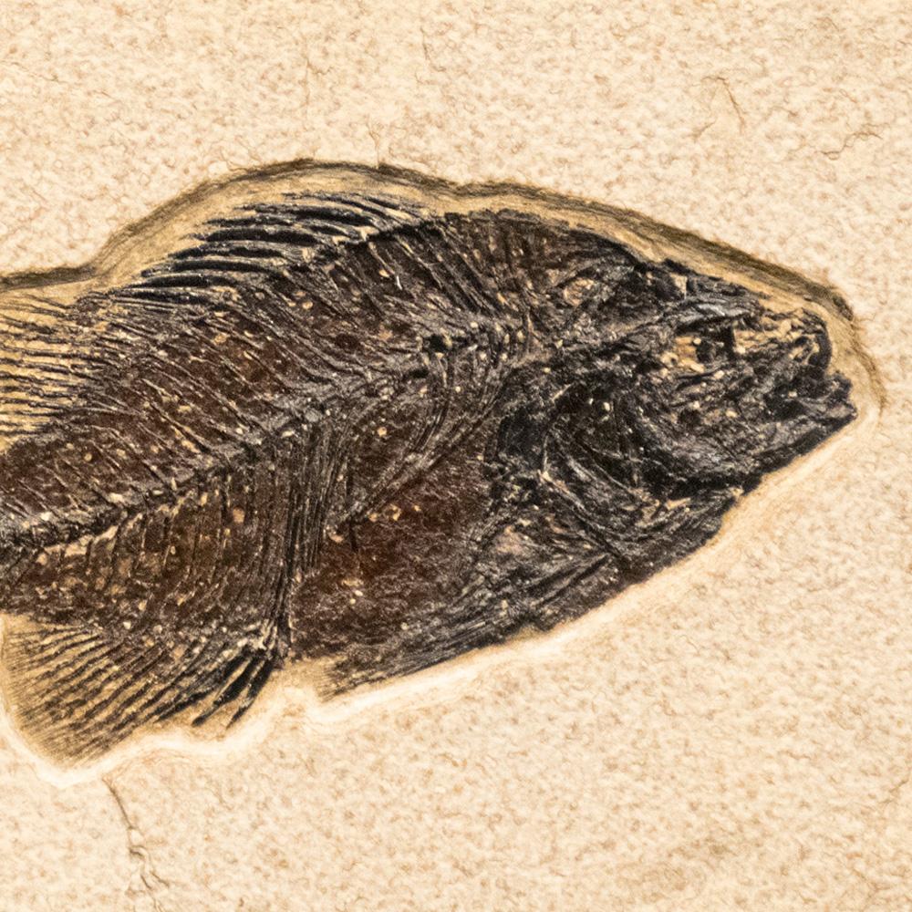 Fossil Tile (Natural) PR48_N237