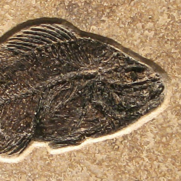 Fossil Tile (Combination) PR48_S115