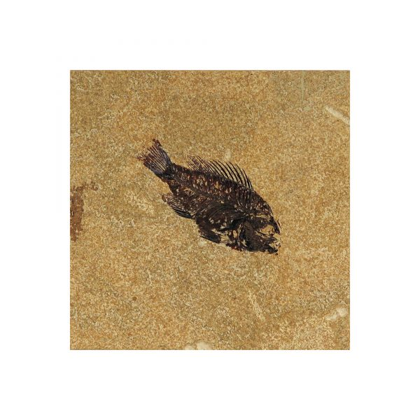 Fossil Tile (Honed) PR66_H053