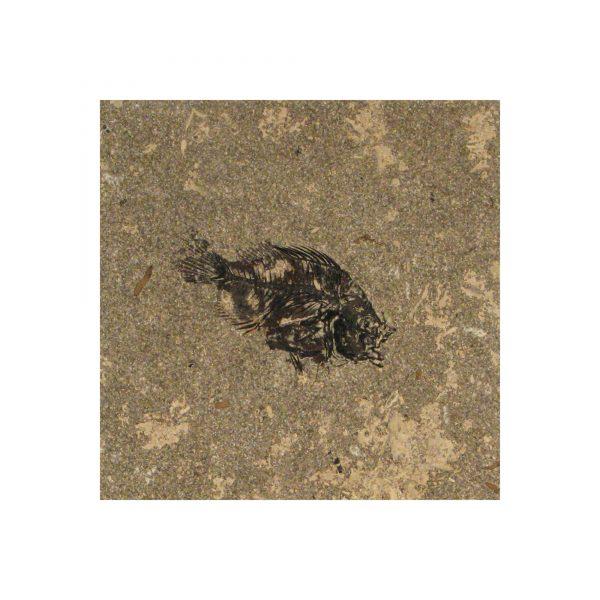 Fossil Tile (Honed) PR88_H039