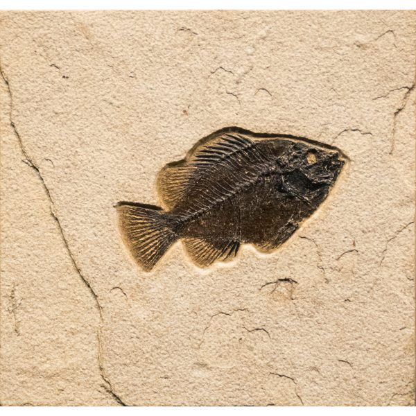 Fossil Tile (Natural) PR88_N240