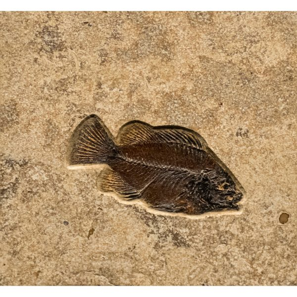 Fossil Tile (Combination) PR88_S231