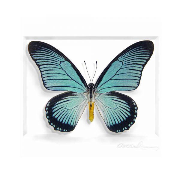 11 x 14 African Blue Swallowtail