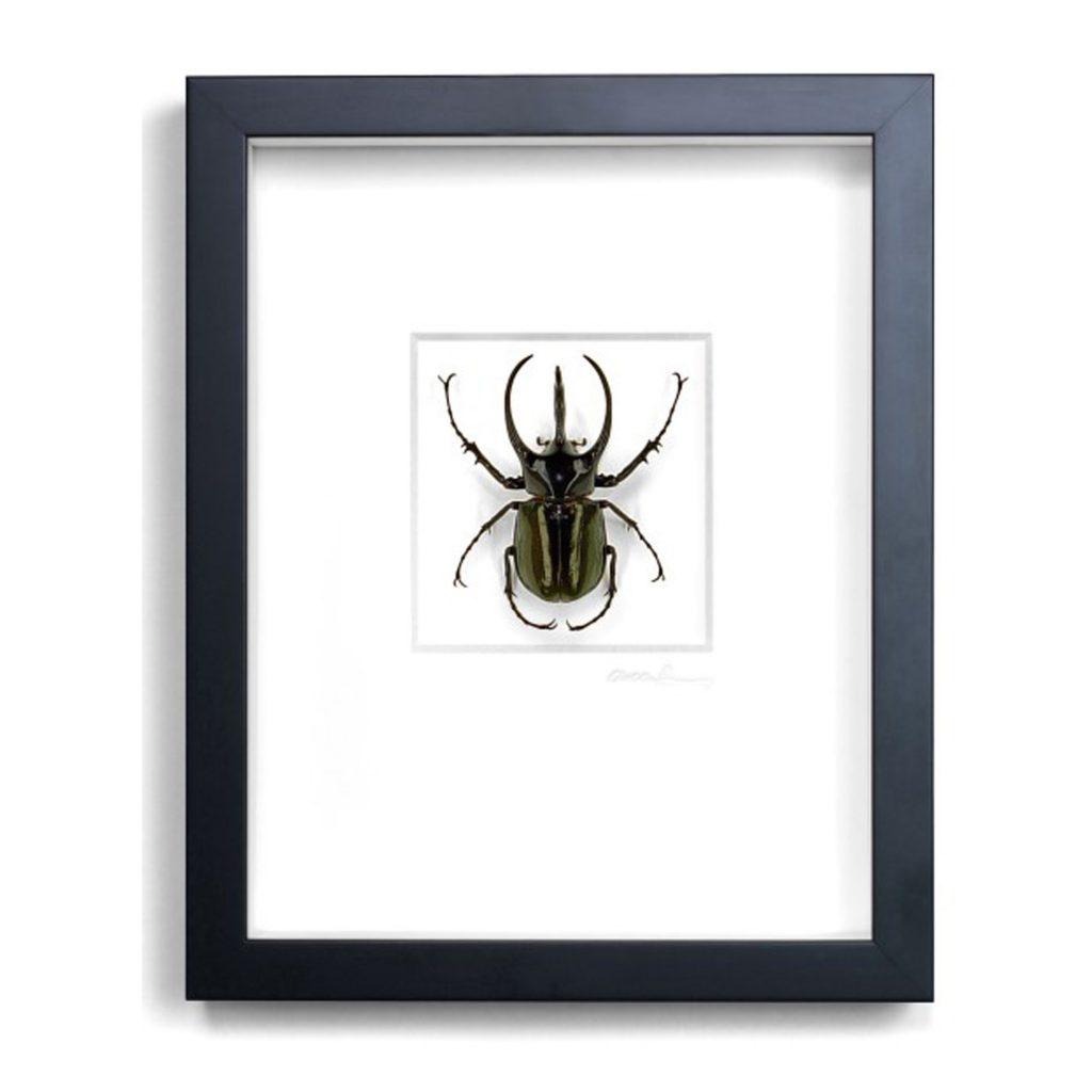 11 x 14 Atlas Beetle