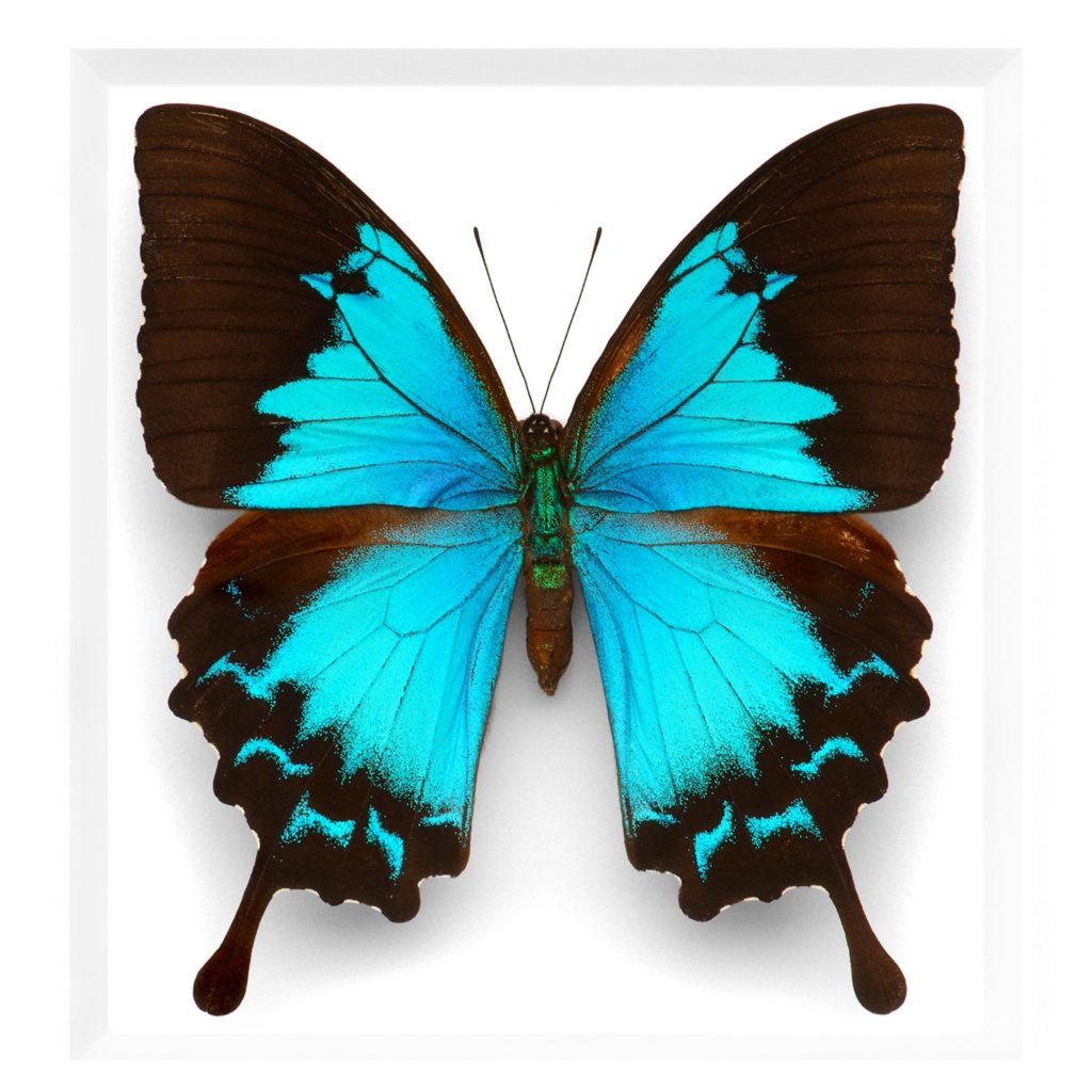 11 x 14 Cobalt Swallowtail