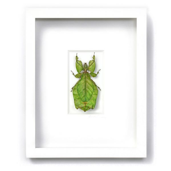 11 x 14 Giant Walking Leaf