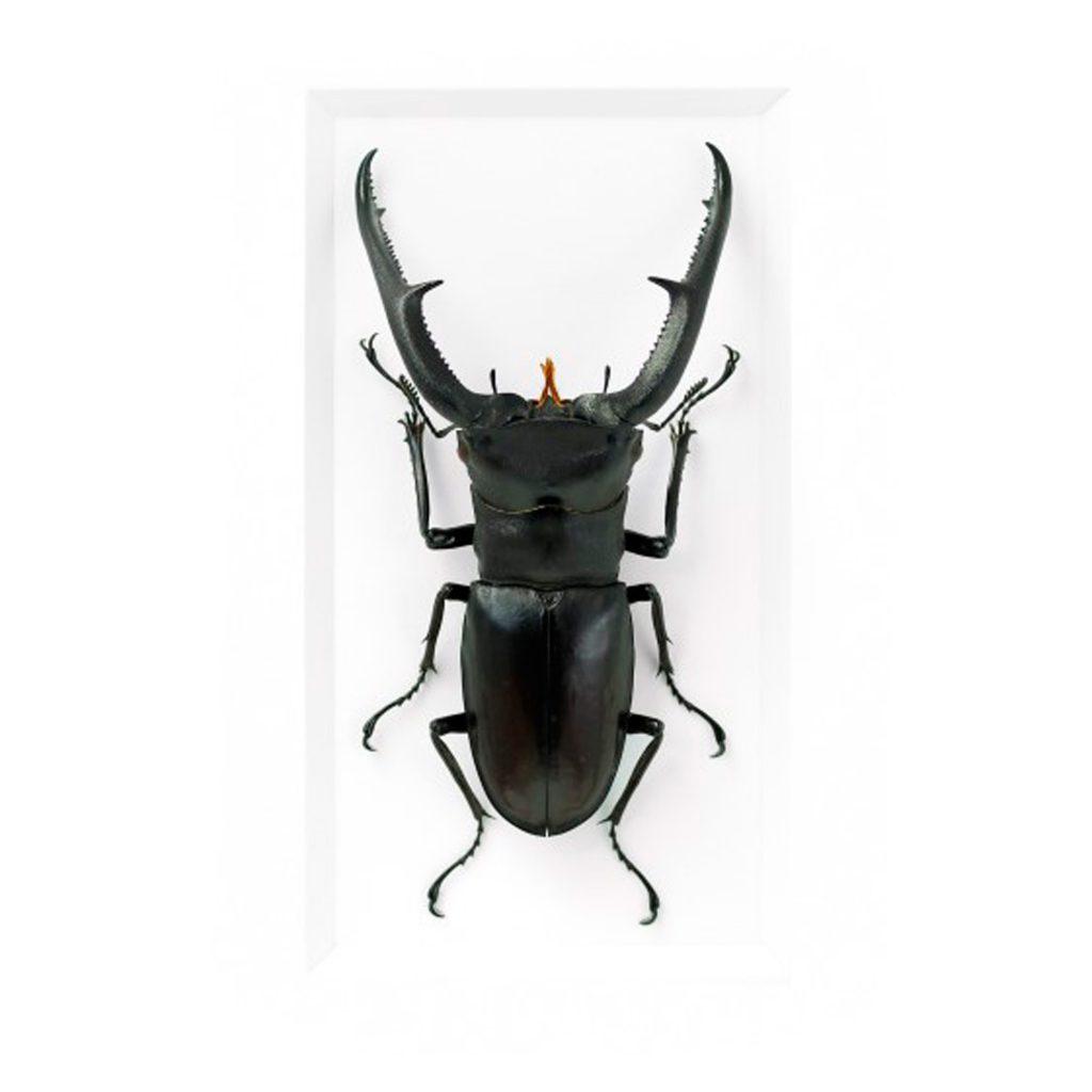 11 x 14 Hex Stag Beetle