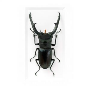 11 x 14 Hex Stag Beetle