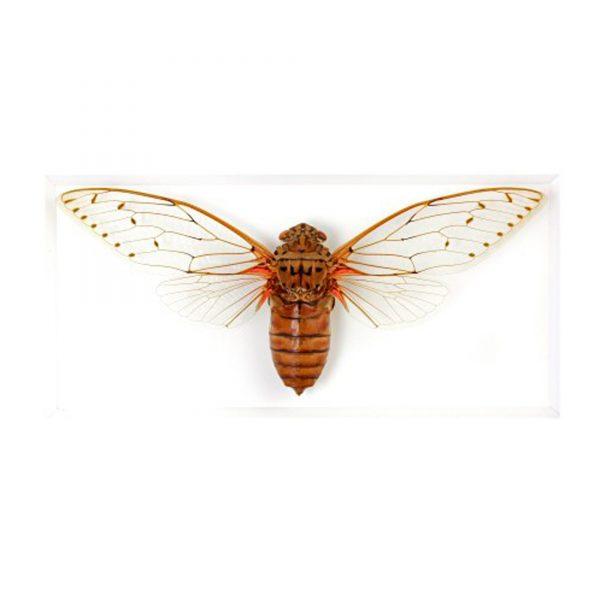 11 x 14 Imperial Cicada