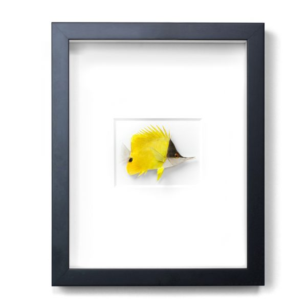 11 x 14 Longnose Butterfly Fish
