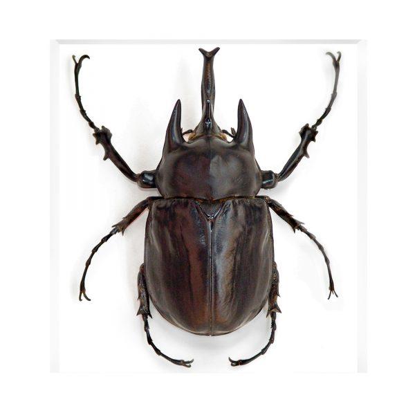 11 x 14 Megasoma Beetle