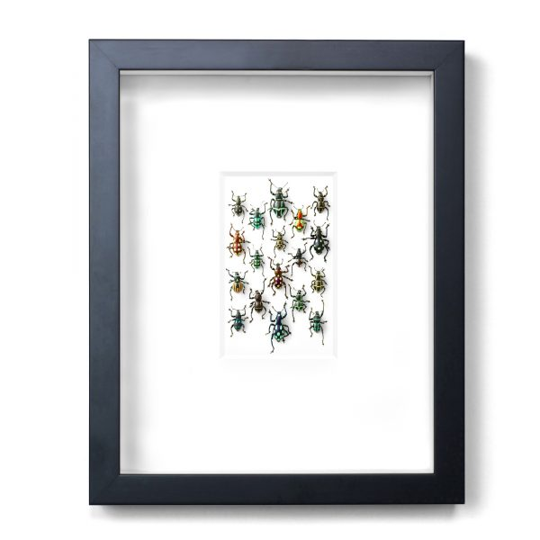 11 x 14 Walking Weevils