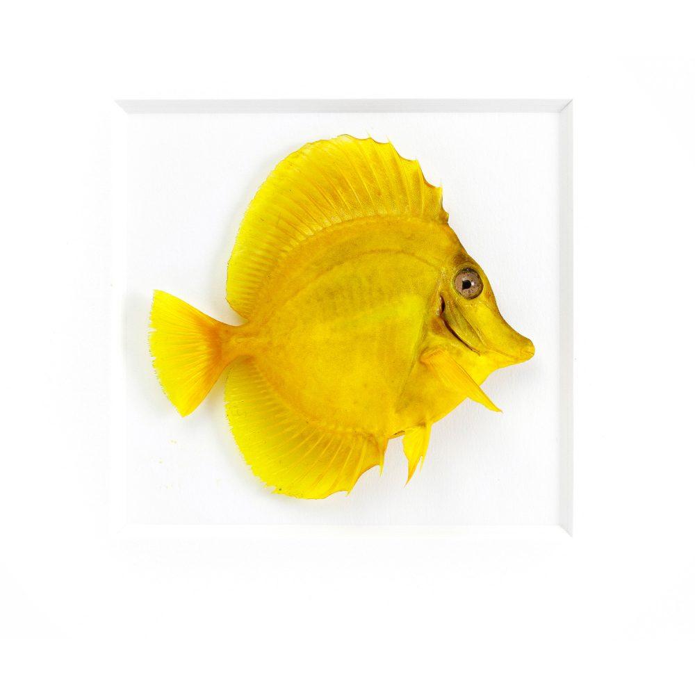Yellow tang fish drawing