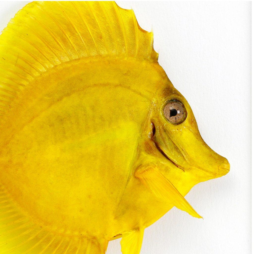 11 x 14 Yellow Tang Fish