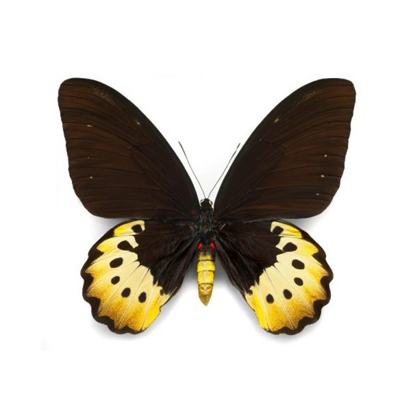 16 x 20 Goliath Birdwing (Female)