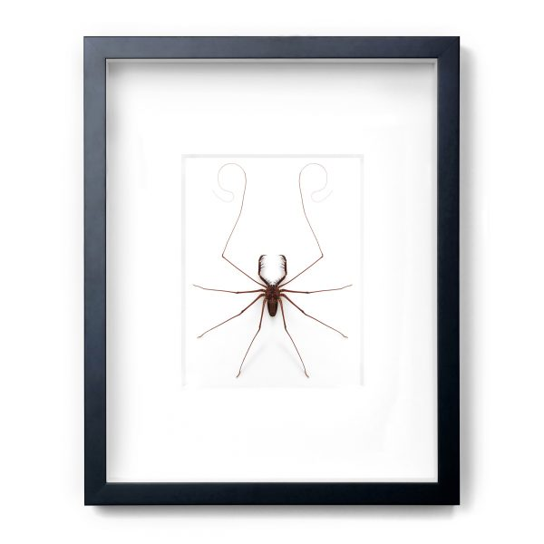 16 x 20 Tailless Whip Scorpion