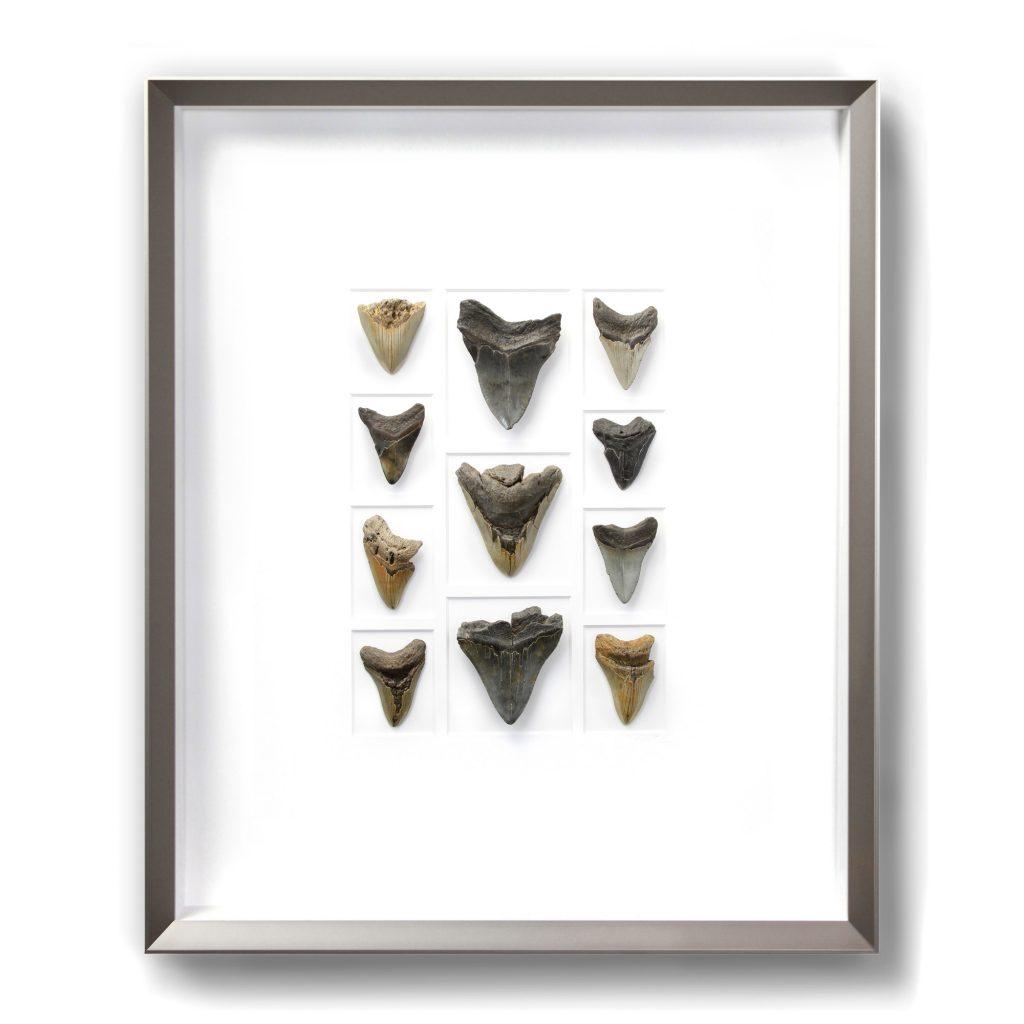 24 x 30 Megalodon Teeth
