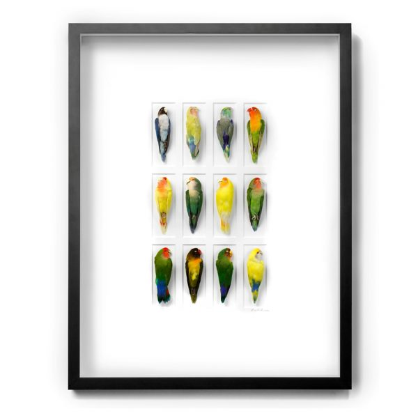 32 x 40 Lovebird Color Forms