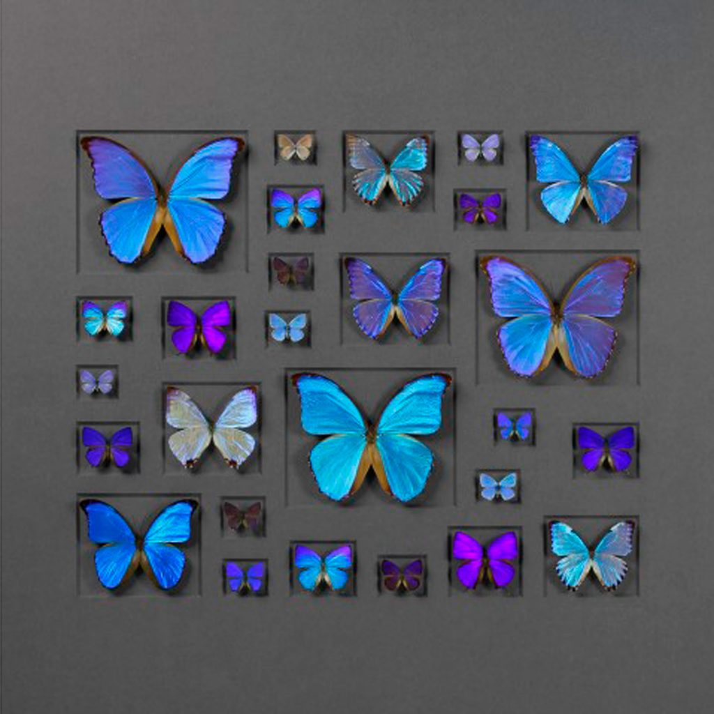40 x 30 Cerulean Butterflies on Graphite