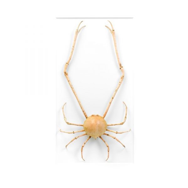 16 x 24 Peeble Crab
