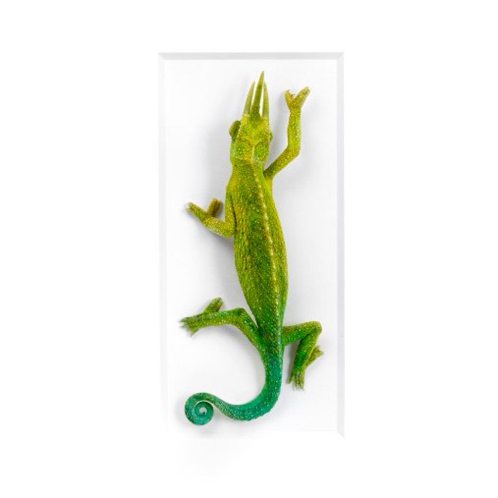 11 x 14 Jacksons Chameleon